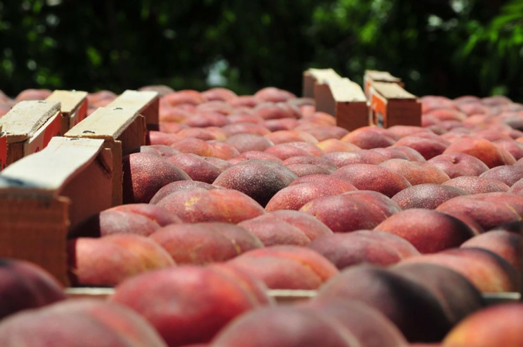Some 12,000 tons of peaches and nectarines on Wednesday remained in refrigerators in Imathia – one of seven prefectures affected by the Russian food embargo – with another 13,000 tons of fruit remaining unpicked due to a flood of canceled deliveries.